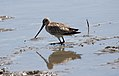 Bar-tailed Godwit (Limosa lapponica) (30552243083).jpg