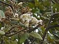 Bara-kalagoru (in Tamil) (2239453714).jpg