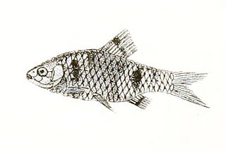 Spottedsail barb species of fish