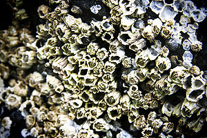 Cluster of barnacles on Right Beach, near Home...