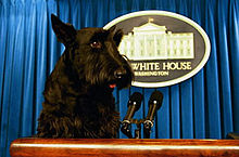 """A black Scottish Terrier on the presentational podium with the blue curtain behind it."""