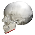 Base of mandible - skull - lateral view01.png