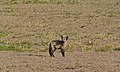 Bat-eared Fox (Otocyon megalotis) (6499638587).jpg