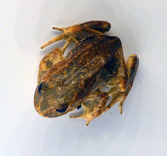 Baw Baw frog - Image: Baw Baw Frog