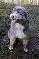 Bearded Collie w.jpg