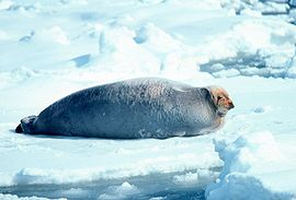 Bearded Seal.jpg