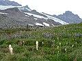 Beargrass, paintbrush, pasque seedheads and lupine (483e2d1885de45f69ebcefca5bf3e6eb).JPG
