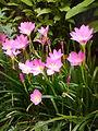Beautiful Grass Flower Fultala Elenga Tangail.jpg