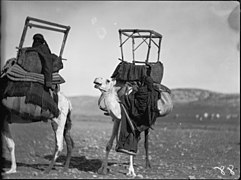 Bedouin life in Trans-Jordan. Mounting a camel while on the march. Bedouin girl climbing over camel's neck LOC matpc.15666.jpg