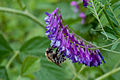 Bee on purple flower 2 (6321117353).jpg
