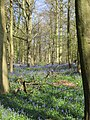 Beech and bluebells - April 2012 - panoramio.jpg