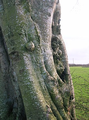 Canker - Image: Beech bark burrs and canker
