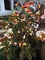 Begonia Angel wing-1-polonnaruwa-Sri Lanka.jpg