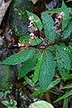 Begonia buddleiifolia (Begoniaceae) (30139029385).jpg