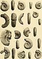 Beiträge zur Paläontologie und Geologie Österreich-Ungarns und des Orients - Mitteilungen des Geologischen und Paläontologischen Institutes der Universität Wien (1907) (20355336112).jpg