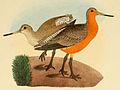 Beitrag zur fauna Centralpolynesiens. Ornithologie der Viti- Samoa- und Tonga-inselnPl13 part01 Limosa lapponica baueri.jpg