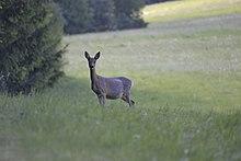 Ein Reh steht am Waldrand und beobachtet seine Umgebung