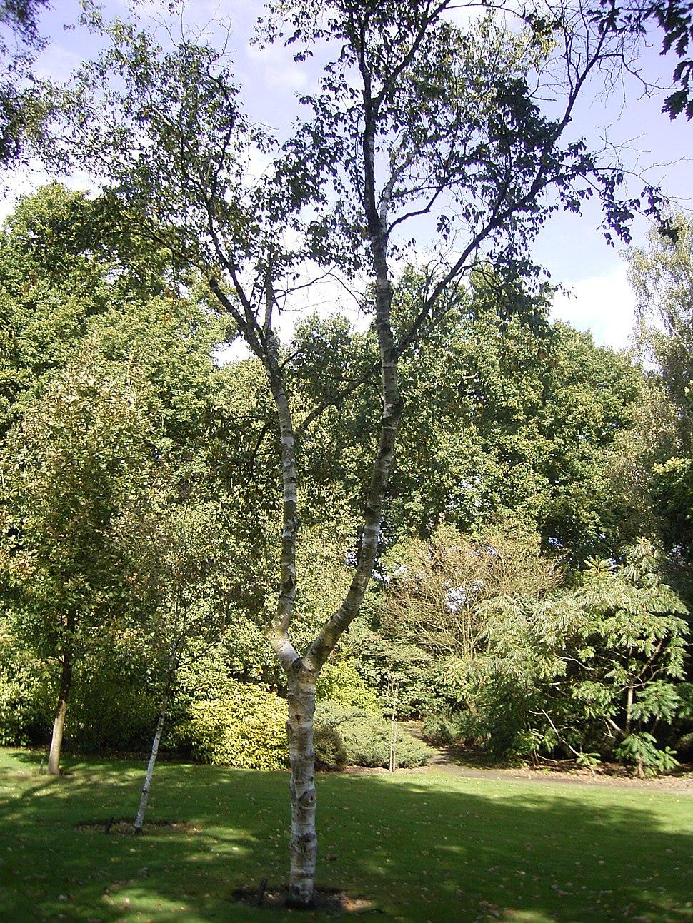 Betula albosinensis 01-10-2005 14.41.32