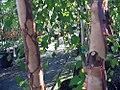 Betula nigra Heritage 2zz.jpg
