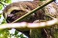 Bicho-preguiça curioso do Parque Municipal de Maceió.jpg