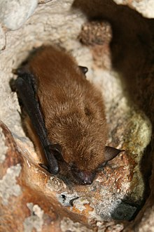 The image depicts a big brown bat sleeping on the wall of a cave.