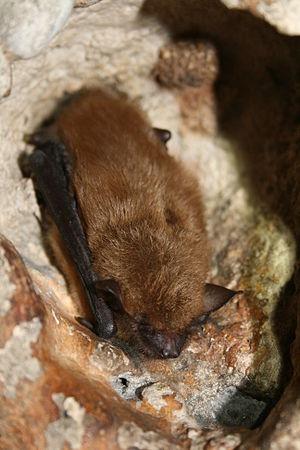 Big brown bat - Image: Big brown bat (5600873374)