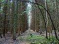 Birch Copse, near The Warren, Wiltshire - geograph.org.uk - 546072.jpg