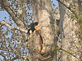 Bird Great Hornbill Buceros bicornis at nest DSCN9018 01.jpg