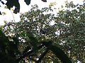 Bird Wreathed hornbill Rhyticeros undulatus IMG 7837 06.jpg