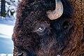 Bison closeup.jpg