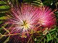 Blüte der Albizia julibrissin.JPG