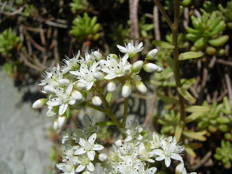 File:Blüten Mauerpfeffer.jpg