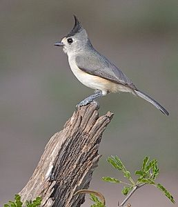 Black-crested Titmouse.jpg