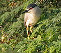 Black-crowned Night Heron (Nycticorax nycticorax) in Hyderabad W IMG 7320.jpg