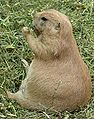 Black-tailed Prairie Dog 2.JPG