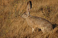 Black-tailed rabbit.jpg