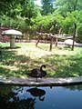 BlackSwan Reflection.jpg