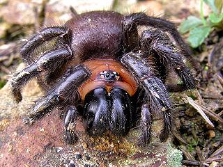 <i>Porrhothele</i> Genus of spiders
