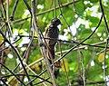 Black Antshrike Thamnophilus nigriceps female (28327123797).jpg