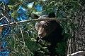 Black Bear (16255487966).jpg