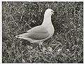 Black Billed Gull at nest. (Larus bulleri) Maori name Tarapunga (3).jpg