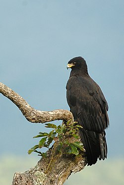 Black Eagle DSC5485 (cropped).jpg