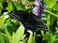 Black Swallowtail Papilio polyxenes asterius (24008570777).jpg
