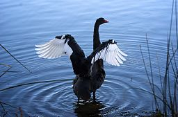 Black Swan Flapping
