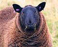 Black ewe.jpg