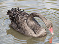 Black swan (14193921779).jpg