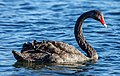 Black swan on Avon River, Christchurch, New Zealand 01.jpg
