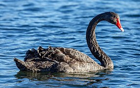 Black swan on Avon River, Christchurch, New Zealand 01.jpg