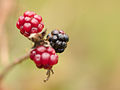 Blackberries (10493456045).jpg