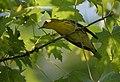Blackburnian Warbler (29612961410).jpg